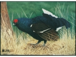 JVD Animal Face Blue-Grouse
